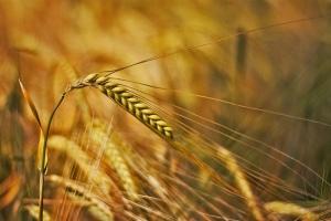 2-Row Barley ripening on the stalk